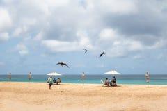 Storartade Frigatebird som flyger över folk på Praia da Conceicao Beach - Fernando de Noronha, Pernambuco, Brasilien Arkivfoto