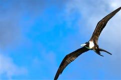 Storartade Frigatebird som skjuta i höjden till och med blåa himlar, Antigua, västra Indies arkivfoto