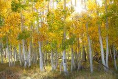 Storartade ljusa kulöra asp- träd med en sunburst i hösten arkivfoto