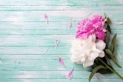 Storartade vita och rosa pioner blommar på målad turkos uppvaktar Fotografering för Bildbyråer