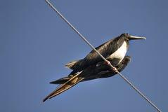 Storartade Frigatebird Royaltyfri Fotografi