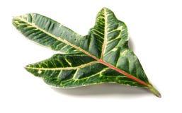 Storartat tropiskt grönt blad royaltyfria foton