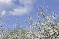 Storartat vårträd och den blåa himlen Royaltyfria Bilder