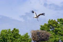 Storch über dem Nest Stockfotos