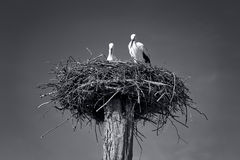 Storch. Stork's nest in black and white Stock Photo
