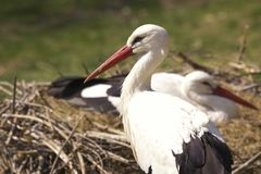 Storch Royalty Free Stock Image