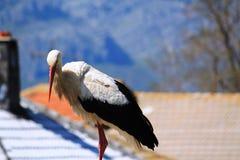 Storch arkivfoto