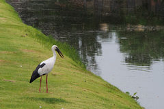 Storch auf dem Gras Lizenzfreie Stockbilder