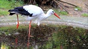 Storch auf dem Herumsuchen in einem Teich stock video