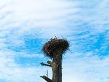 Storch auf dem Nest Stockfotos