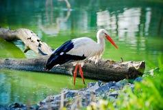 Storch auf dem Teich Stockfoto
