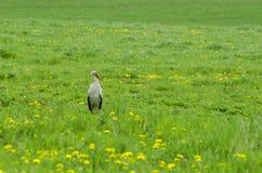 Storch auf der Wiese Stockbild