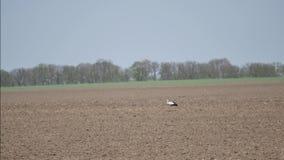 Storch auf einem Feld stock video footage