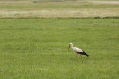 Storch auf einem Gebiet stockfoto