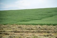 Storch auf einem Gebiet des Heus Stockfoto