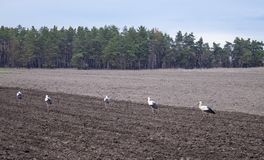 Storch auf einem gepflogenen Feld Vögel suchen nach Nahrung auf dem Feld stockfotografie