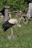 Storch auf einem Klotz, unten schauend Lizenzfreie Stockfotografie