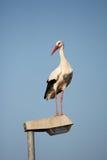 Storch auf einem Laternenpfahl Stockfotografie