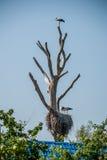 Storch auf einem trockenen trea Lizenzfreie Stockfotografie