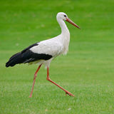 Storch auf grünem Gras Stockfotografie