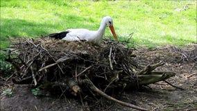 Storch auf seinem Nistplatz stock video footage