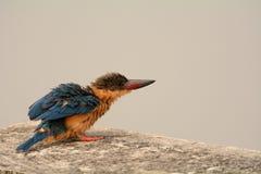 Storch-berechneter Eisvogel Stockfotos