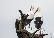 Storch, ciconia ciconia, Babylieferung lizenzfreie stockfotografie