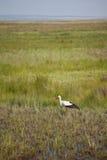 Storch in den Feuchtgebieten Lizenzfreie Stockbilder