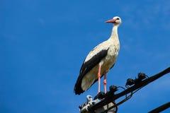 Storch, der auf einem Strommast steht Stockfotos