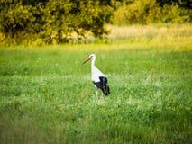Storch, der auf Feld geht stockbild