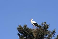 Storch, der ein Nest auf einem Baum errichtet lizenzfreie stockfotografie