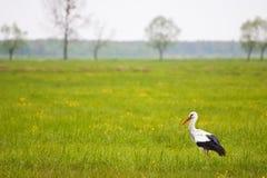 Storch, der in einem hohen Gras steht Lizenzfreie Stockbilder