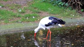 Storch, der in einem Teich steht stock video footage