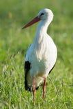 Storch, der im Gras steht Lizenzfreie Stockfotos