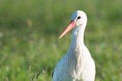 Storch, der im Gras steht Lizenzfreies Stockfoto