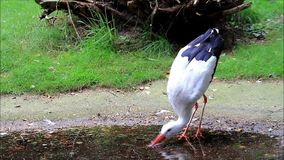 Storch, der im Teich steht stock video footage