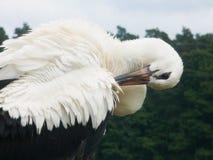 Storch, der seine Federn säubert lizenzfreie stockfotografie