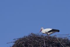 Storch in einem Nest Stockfotos