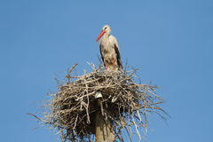 Storch in einem Nest Stockfoto