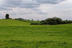 Storch in einer grünen Wiese Einzelner Baum im Hintergrund Bewölkter Himmel, Schönheit des Dorfs Stockfotos