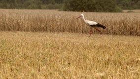 Storch geht das Feld, nachdem er Weizen geerntet hat Kranstorch auf dem Gebiet sucht nach Nahrung E stock video