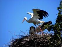 Storch gerade gelandet stockfotos