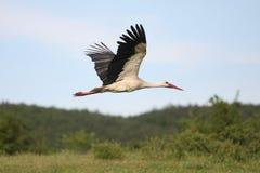 Storch im Flug Lizenzfreies Stockfoto