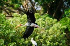 Storch im Flug Lizenzfreie Stockbilder