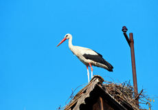 Storch im Nest Stockfotografie