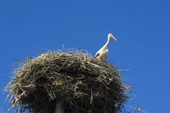 Storch im Nest Stockbild