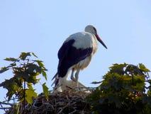 Storch im Nest Stockfotografie