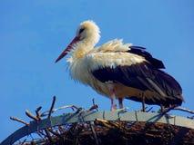 Storch im Nest Stockbild