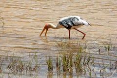 Storch im Wasser Stockfoto