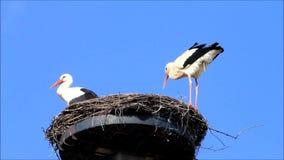 Storch macht das Klar werden am Rand des Nestes stock video footage